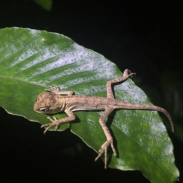 <p>A juvenile forest lizard</p>