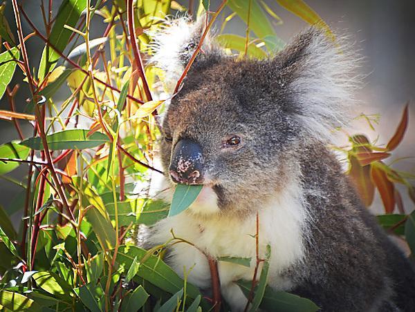 Koala conservation area at Yanchep National Park