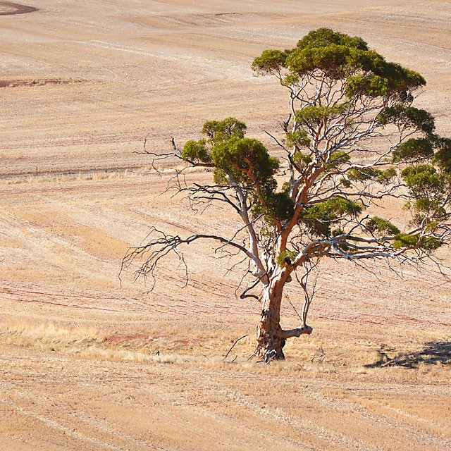 <p>Tree in the wheatbelt</p>