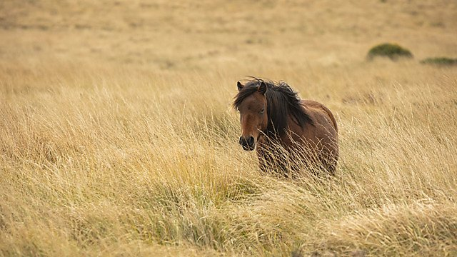 <p>A pony among purple moor grass close to the research site (Credit Lloyd Russell, University of Plymouth)<br></p>