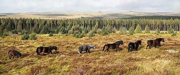 <p>Dartmoor ponies are among the most iconic species of any British moorland (Credit Lloyd Russell, University of Plymouth) WEB<br></p>