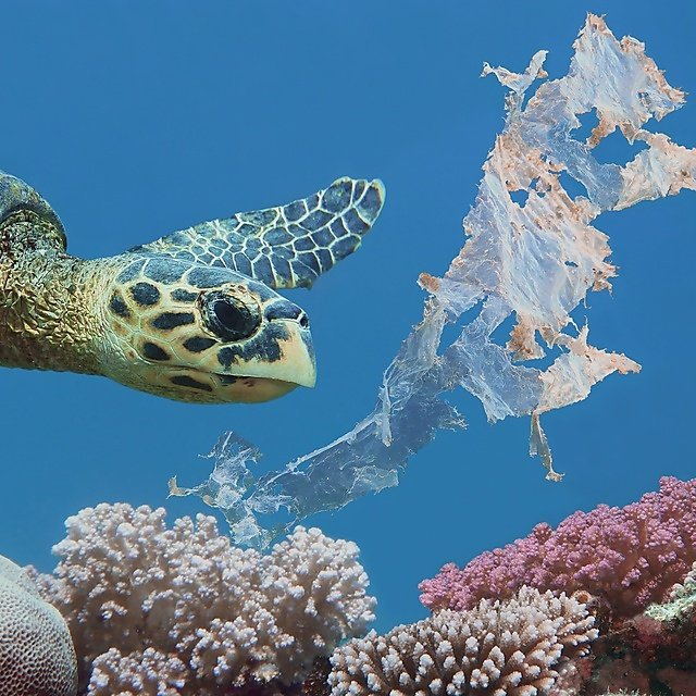 <p>Beautiful sea hawksbill turtle swiming above colorful tropical coral reef polluted with plastic bag<br></p>