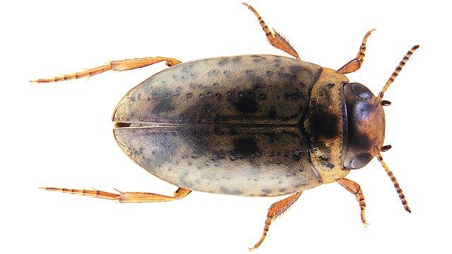 <p>Canthyporus namaqualacrimus<br></p>
