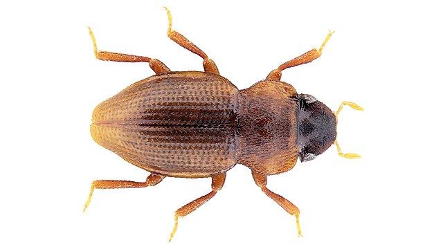 <p>Parhydraena cataractae<br></p>