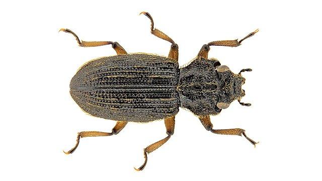 <p>Coelometopon glenavoni</p>