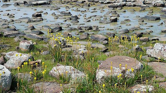 <p>Northern Cape, Hantamsberg, temporary lagoon with Bulbinella<br></p>