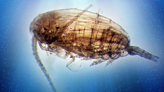 <p>A Calanus spp. copepod. The species occupy different ecological niches so are used as a good indicator species © 2020 The Marine Biological Association. All rights reserved<br></p>