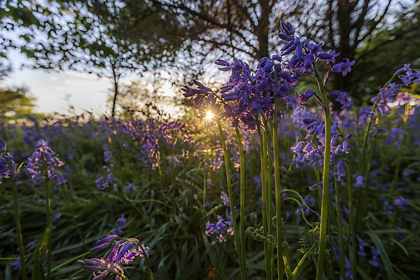 summer landscape - bluebells in the sunset