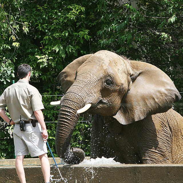 <p>Elephant and keeper</p>