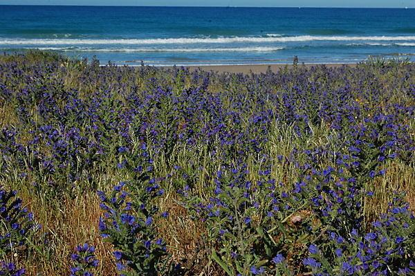 <p>Typical flowering plants on sand dunes on the Spanish coast (Credit Mick Hanley, University of Plymouth)<br></p>