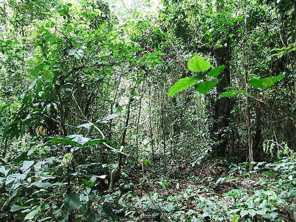 <p>The forest understory layer in Bobiri Forest Reserve (Credit Sophie Fauset)<br></p>