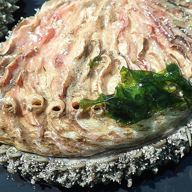 <p>Abalone Tim Scott</p>