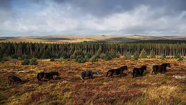 <p>Dartmoor ponies</p>