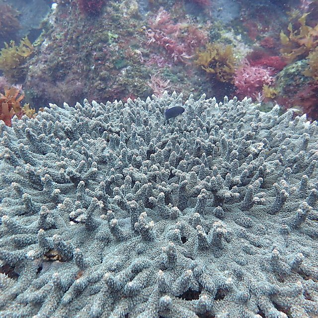 <p>A coral associated damselfish swimming above a colony of Acropora solitaryensis at the control CO2 sites off Shikine Island (Credit Marco Milazzo)<br></p>
