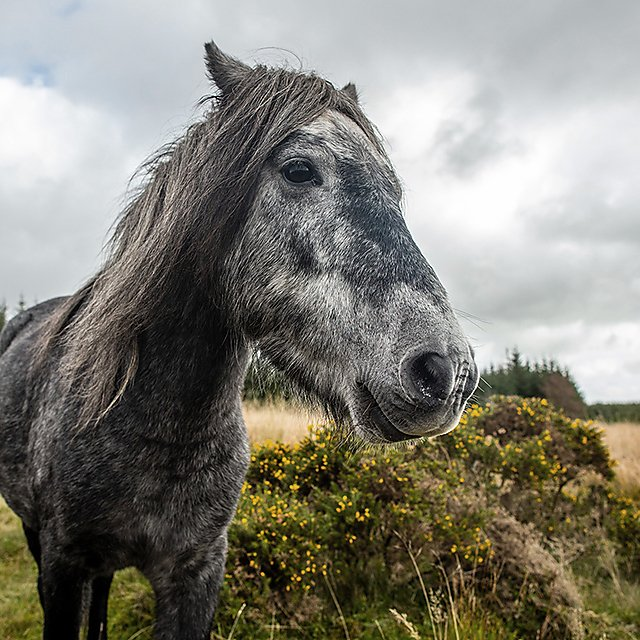 <p>Dartmoor pony</p>