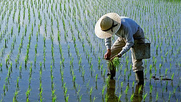 <p>Man working on a crop in a rice field</p>