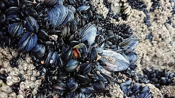 <p>Mussels clumped together on rocks at Whitsand Bay in Cornwall (Credit University of Plymouth)<br></p>