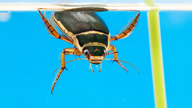 <p>The great diving beetle (Dytiscus marginalis) (Credit Brian Nelson)<br></p>