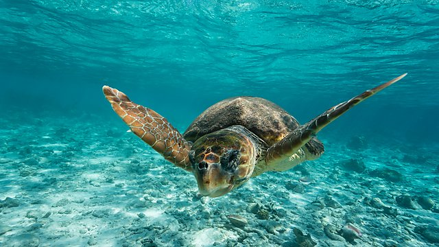 <p>A loggerhead sea turtle (Credit Getty Images)<br></p>