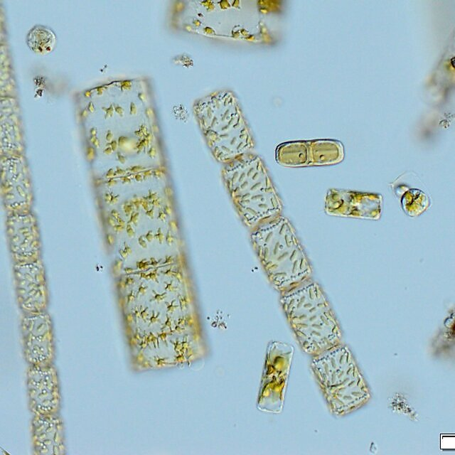 <p>A mixture of diatoms from the L4 coastal monitoring site off Plymouth (Credit Claire Widdicombe)<br></p>