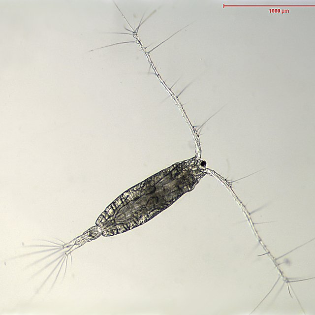 <p>Acartia spp, a common copepod in the north east Atlantic, has dropped in abundance by around 50% (Credit Russ Hopcroft)<br></p>
