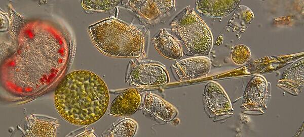 <p>A mixture of dinoflagellates and diatoms from the L4 coastal monitoring site off Plymouth (Credit Claire Widdicombe)<br></p>