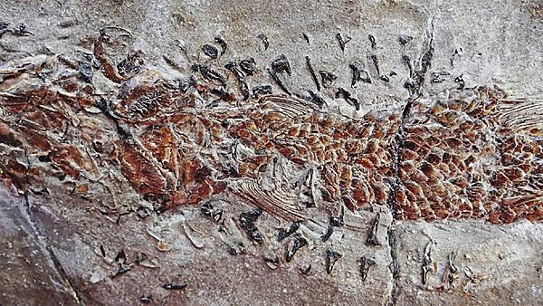 <p>An image of the fossil showing the body of the Dorsetichthys bechei with the arms of the Clarkeiteuthis montefiorei clamped around it (Credit: Malcolm Hart, Proceedings of the Geologists' Association)<br></p>
