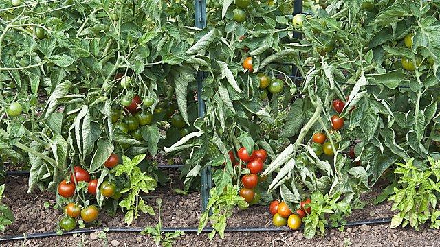 <p>Tomato Plants</p>