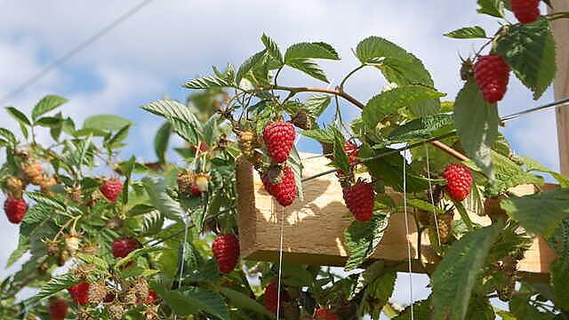 <p>Raspberry</p>