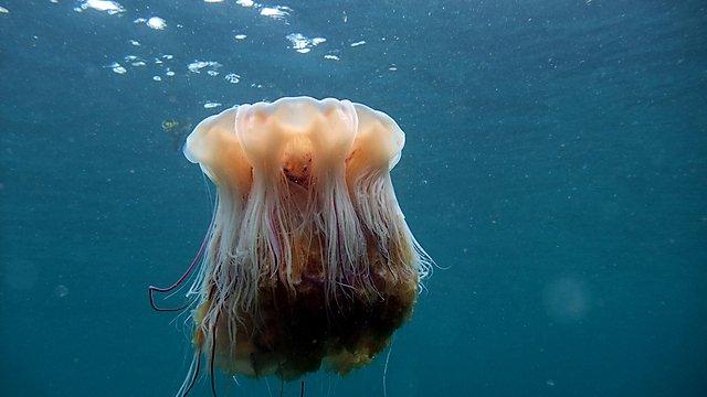 <p>  Jellyfish (Credit: Peter Bardsley)  <br></p>