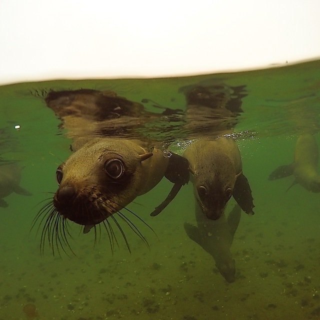 <p>Emma Longden kayaking with cape fur seals </p>