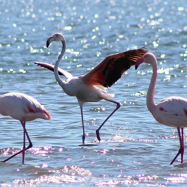 <p>Emma Longden greater flamingo</p>