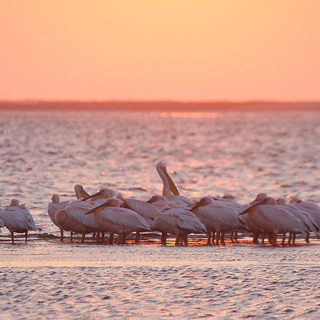 <p>Emma Longden white pelicans</p>