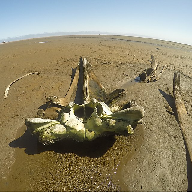<p>Remains of a stranded sei whale found in Namibia<br></p>