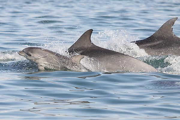 <p>Mother and calf bottlenose dolphins - often mothers and calves use signature whistles to stay in contact (Credit: Simon Elwen)<br></p>