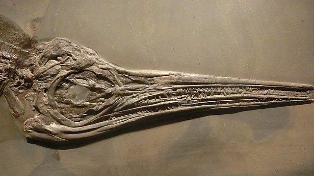 <p>  Stenopterygius  <br></p>