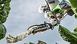 University spinout company to begin development of a new cauliflower-harvesting robot