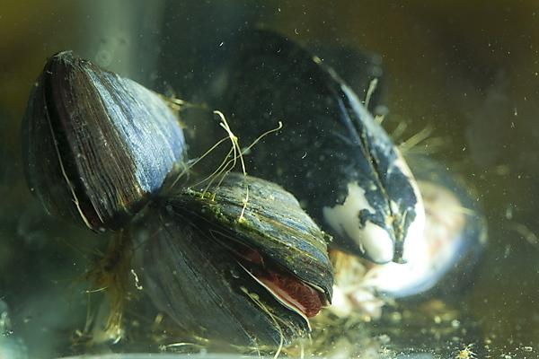 Future ocean conditions could cause significant changes in marine mussels