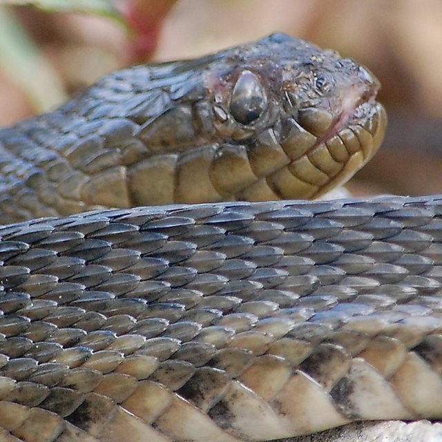 <p>Evolutionary Biology - Ecology and Evolution Research Group. snake<br></p>