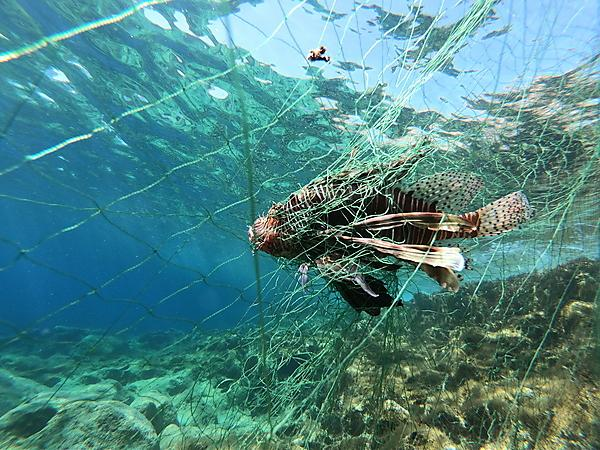 A lionfish entangled in a fishing net off the coast of Cyprus