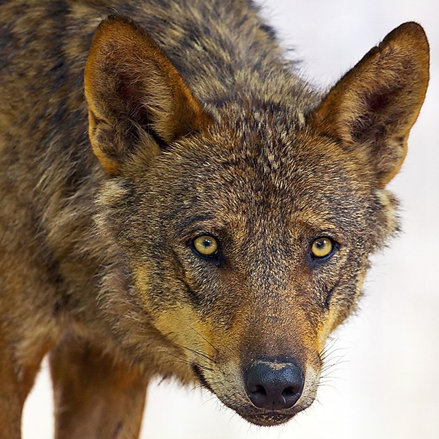 The Iberian wolf (Canis lupus subsp. signatus Cabrera) is a near-threatened subspecies of the grey wolf found in Portugal and Spain. Image courtesy of Shutterstock