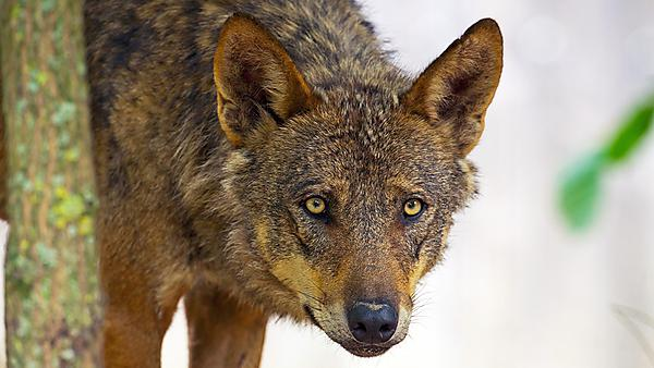 The Iberian wolf (Canis lupus subsp. signatus Cabrera) is a near-threatened subspecies of the grey wolf found in Portugal and Spain. Image courtesy of Shutterstock Usage: courtesy of Shutterstock