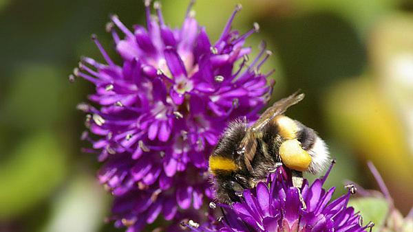 Unravelling patterns of genetic diversity: fitness and population viability in UK pollinators