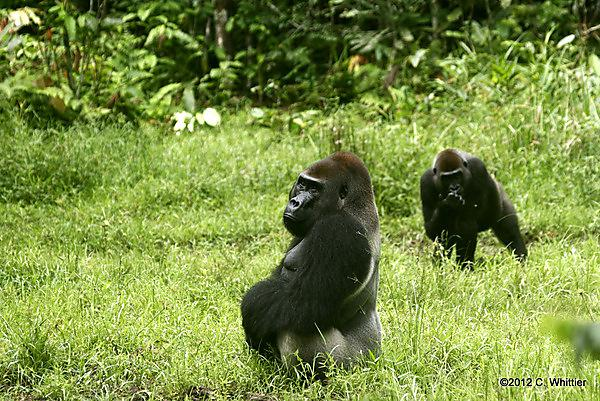 West lowland gorillas. Copyright: 2012 Chris Whittier
