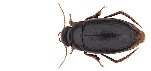 New species of diving beetle found living in isolation in Africa