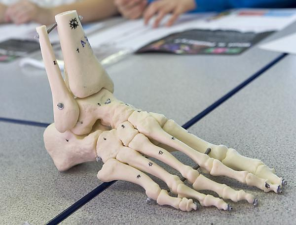 Podiatry foot skeleton
