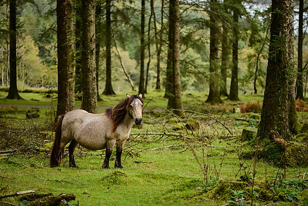 <p>The Dartmoor pony (<i>Equus ferus caballus </i>L.) was bred in the South West of the United Kingdom and used as a beast of burden in the mining industry, but now inhabits Dartmoor in a semi-feral state. With over 25,000 individuals on the moor in the 1930s, the population has reduced to under 1,000 today. A number of breeding and conservation programmes are underway to protect the breed population as a whole from decline.<br></p>