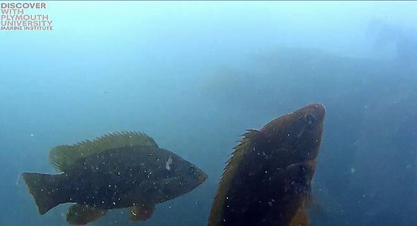 Wrasse in Plymouth Sound