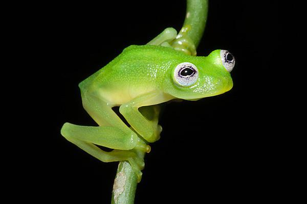 (image credit: Brian Kubicki, Costa Rican Amphibian Research Center)