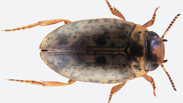 Canthyporus namaqualacrimus